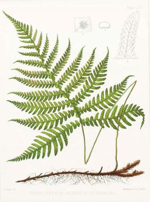 Ferns of North America