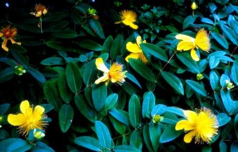 N0023138 Hypericum androsaemum (Tutsan)