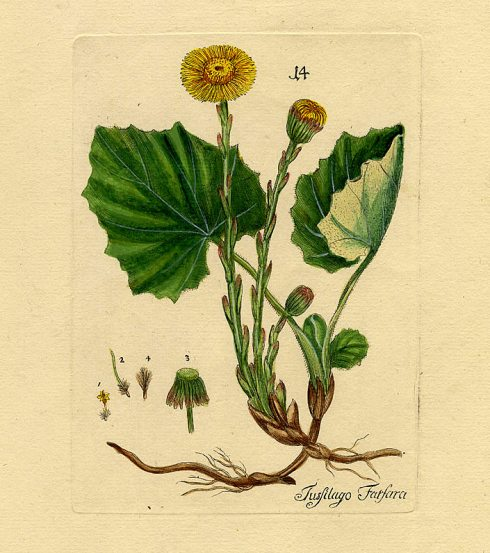 Coltsfoot 1788