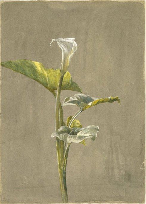 Fidelia Bridges Calla Lilly 1875