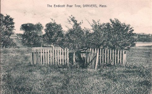Pear Tree Danvers PC