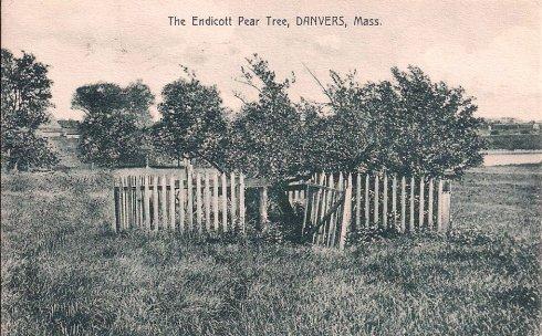 Pear Tree Danvers PC
