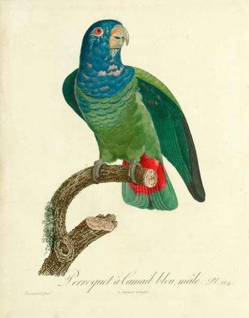 Parrot Barraband 2