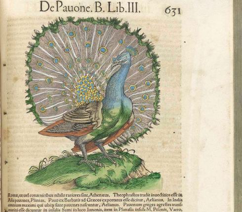 gessner-peacock_43