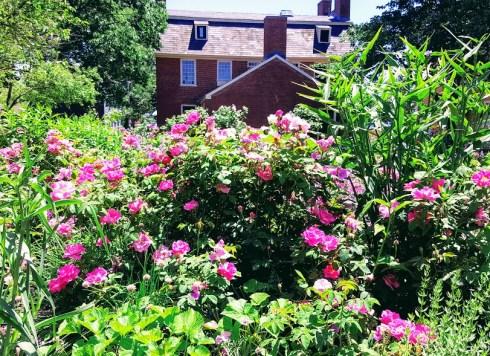 June Roses 9