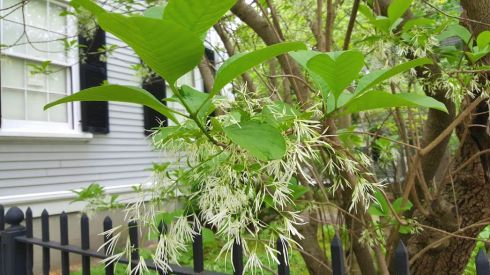 Nature Fringe Tree 2