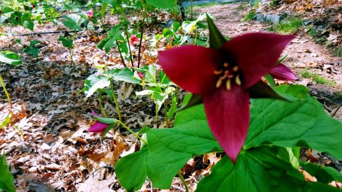 Trillium southern red sulcatum