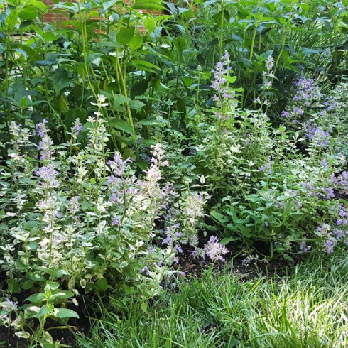 Roses Catmint