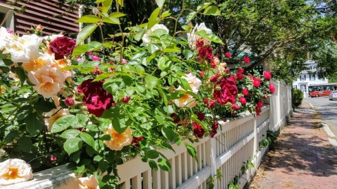 Roses Fence 2