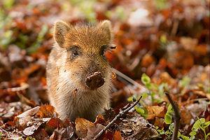 A baby Wild Boar (Sus scrofa) in a wildlife pa...