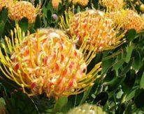 WA Banksia- Street Talk Savvy- Western Australian wildflower season