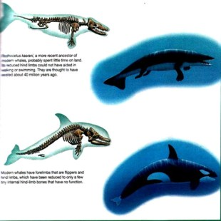 Evolution - Whale