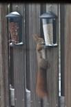 Eichhörnchen am Futterspender