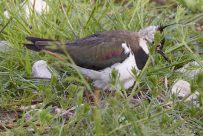 Kiebitz auf dem Nest (man kann die Eier sehen)