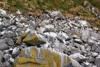 Felsen voller Tordalke, Lummen und Papageitaucher (Shiant-Inseln)