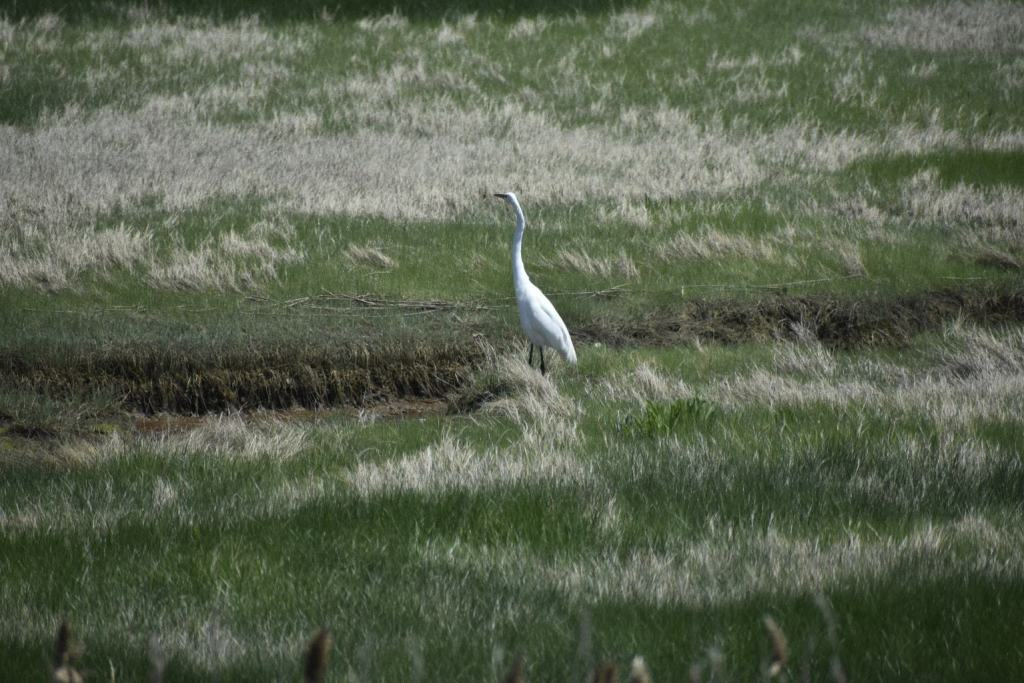 White crane in the marsh