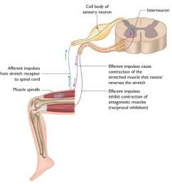 stretch reflex myotatic reflex diagram from the anatomy of stretching [ 900 x 880 Pixel ]