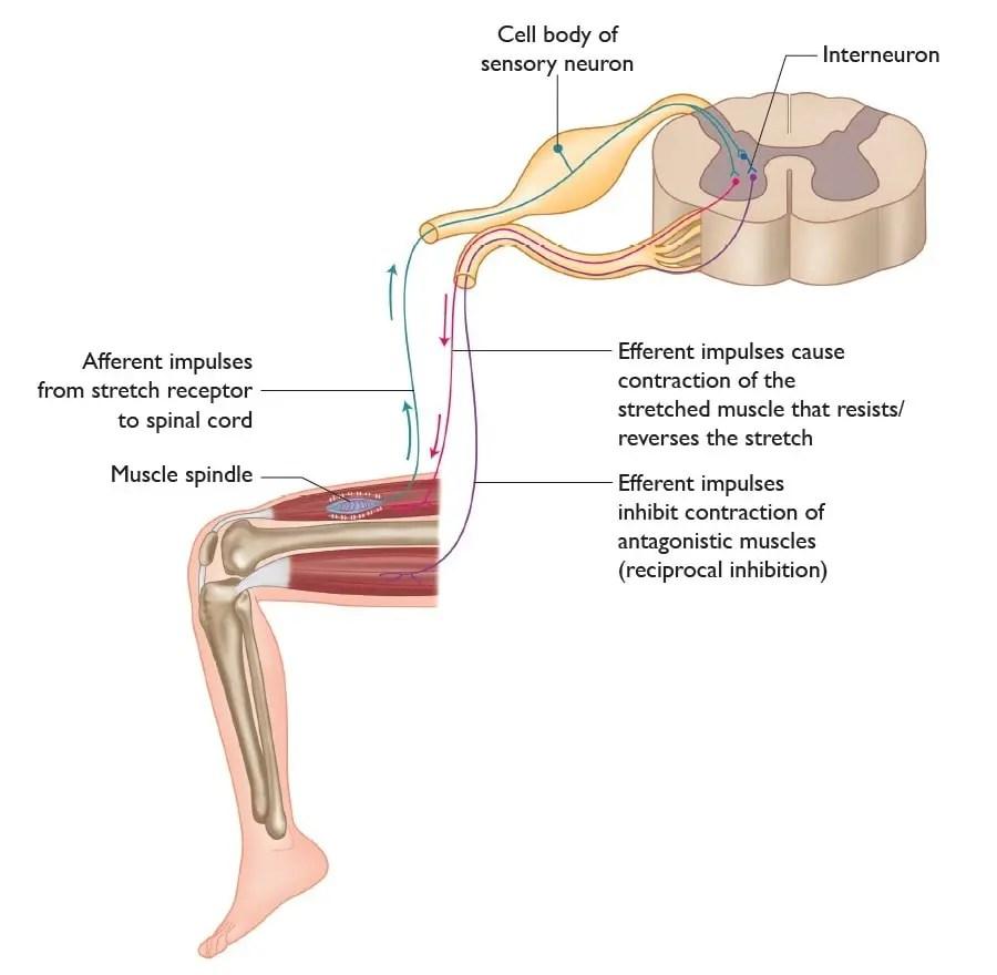 medium resolution of stretch reflex myotatic reflex diagram from the anatomy of stretching