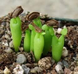 Cacti and Succulent Seeds