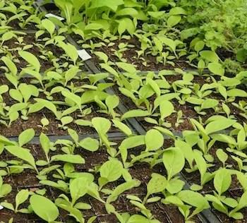 Comfrey_true_seedlings_flats