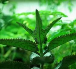 Life Plant, Abundant Goddess (Kalanchoe daigremontiana) potted plant, organic