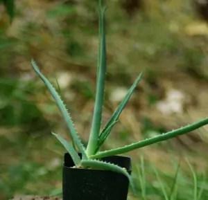 Aloe spicata (Bottle Brush Aloe), packet of 30 seeds