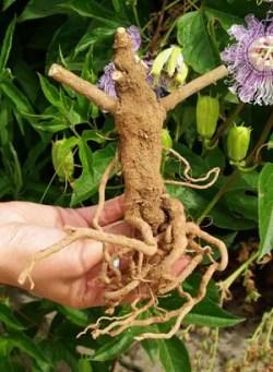 Ayurvedic Medicinal Herb Seed Collection (7 packets): Amla; Andrographis; Ashwagandha, Vedic; Eclipta, Lemongrass; Spilanthes, Official; Tulsi, Rama