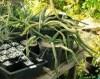Cactus grandiflorus (Selenecereus grandiflorus) potted plant, organic