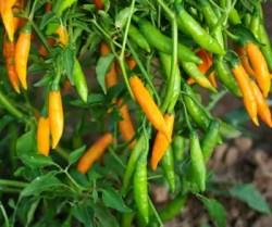 Pepper, Criolla Sella (Capsicum baccatum), packet of 50 seeds, organic