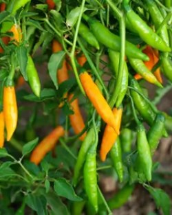 Pepper, Criolla Sella (Capsicum baccatum), packet of 50 seeds, organic
