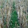 Clover, Crimson (Trifolium incarnatum) Cover Crop Seed, Organic