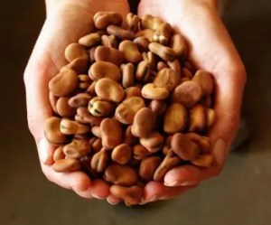 Bean, Fava (Vicia faba) seeds by the pound, organic