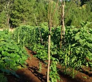 Four Sisters Seed Collection: Bean, Hopi Yellow; Corn, Hopi Blue; Squash, Yellow Crookneck; Sunflower, Hopi Black Dye, organic