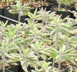 Life Plant, Good Luck (Kalanchoe houthonii), organic