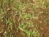 Oats, Cayuse cover crop seed, organic