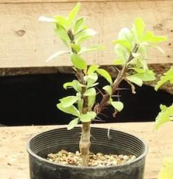 Ocotillo (Fouquieria splendens), packet of 20 seeds