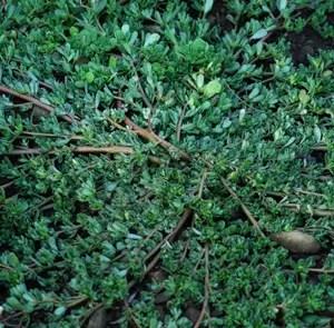 Common purslane Portulaca oleracea seeds 100 seeds