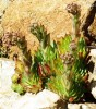 Hen and Chicks (Sempervivum tectorum) bare-rooted plant, organic