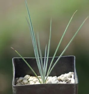 Yucca, Silver (Yucca rostrata) potted plant, organic