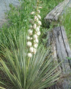 Yucca, Soapweed (Yucca glauca), packet of 20 seeds