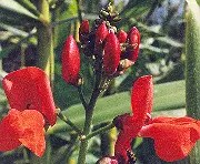 Bean, Scarlet Runner (Phaseolus coccineus), packet of 7 seeds, organic