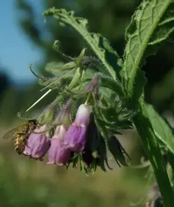Honeybee Plants Seed Collection (8 seed packets): Lemon Bergamot, True Comfrey, Hyssop, Greek Mullein, Pleurisy Root, Scarlet Sage, Temperate Tulsi and Viper's Bugloss*