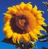 Sunflower, Russian (Helianthus annuus), packet of 50 seeds, organic