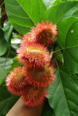 Annatto (Bixa orellana) potted plant, organic - TOP SIZE!