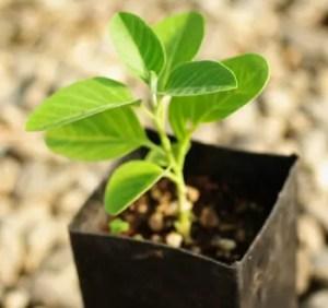 Ashwagandha, Vedic (Withania somnifera) potted plant, organic