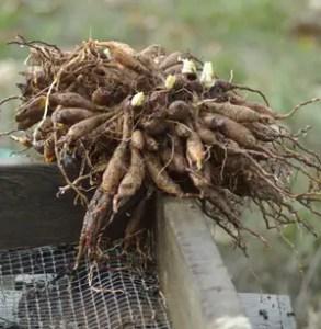 Asphodel (Asphodelus albus) potted plant, organic