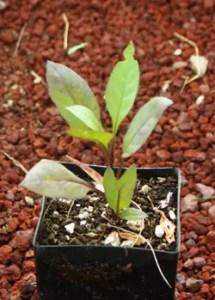Belladonna, Caucasus* (Atropa caucasica) Potted Plant, Organic