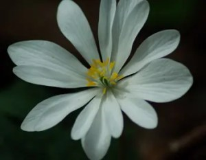 Bloodroot (Sanguinaria canadensis) potted plant, organic