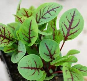 Dock, Red-veined* (Rumex sanguineus) potted plant, organic