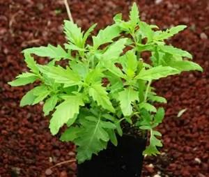 Bugleweed, American (Lycopus americanus) potted plant, organic--ON SALE!